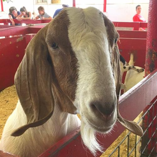 Dairy Goat